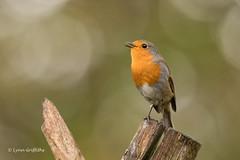 Robin D85_7333.jpg (Mobile Lynn) Tags: birds perched nature chatsrelatives robin bird fauna oscines passeri passeriformes songbird songbirds wildlife england unitedkingdom coth specanimal coth5 ngc npc