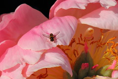 Pretty in Pink (murraymike89410) Tags: kingston washington hfdf flowermacroworld 100mmlmacro