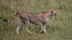 On Quiet Paws ... (AnyMotion) Tags: cheetah gepard acinonyxjubatus cat katze animal animals tiere nature natur wildlife 2011 masaimaranationalreserve kenya kenia africa afrika anymotion reisen travel 5d2 canoneos5dmarkii ngc npc