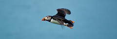 Puffin in flight (Theutan1) Tags: farneislands farne birds nikon nikond3500 puffin