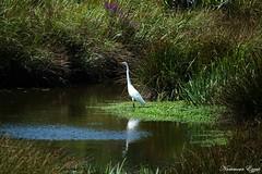 Grande Aigrette Ardea alba (Ezzo33) Tags: france gironde nouvelleaquitaine bordeaux ezzo33 nammour ezzat sony rx10m3 parc jardin oiseau oiseaux bird birds ardeaalba grandeaigrette