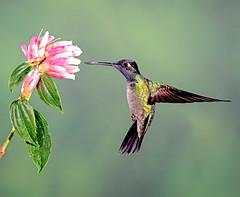 Rivoli's Hummingbird (Stan in FL) Tags: birds costarica nature hummingbird eugenes fulgens nikon tamronusa withmytamron tamron100400mm tamron