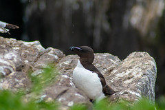 Razorbill (Theutan1) Tags: farneislands farne birds nikon nikond3500 razorbill