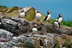 Puffins at Farne Islands (Theutan1) Tags: farneislands farne birds nikon nikond3500 puffin