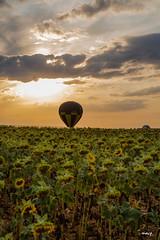 dans les tournesols (akakus55) Tags: tournesols montgolfière