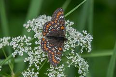DSC_4151_Edit (Clive Webber) Tags: butterfly euphydryasmaturna greendune insect kemeri latvia lepidoptera melitaeinae nymphalidae places scarcefritillary