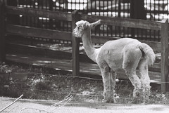 R1-05609-0003 (llamagrapher) Tags: minolta srt102 300mmf56 rokkor nationalzoo blackandwhite bw alpaca animal kentmere400 washingtondc