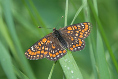 DSC_4161_Edit (Clive Webber) Tags: butterfly euphydryasmaturna greendune insect kemeri latvia lepidoptera melitaeinae nymphalidae places scarcefritillary