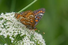 DSC_4156_Edit (Clive Webber) Tags: butterfly euphydryasmaturna greendune insect kemeri latvia lepidoptera melitaeinae nymphalidae places scarcefritillary