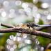 Keeled Skimmer resting on a branch