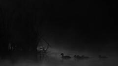 Familienidylle (IIIfbIII) Tags: bird birdphotography blackandwhite bw broilluard fog nebel dust dunst duck draussen wildlife canon nature naturephotography natur naturfotografie n