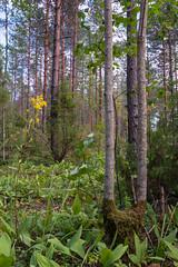Curiously split willow tree. (Ranta Janne) Tags: 2019 birch finland forest fujifilmxt100 koivu kuusi lichen metsä moss mänty nature paju pine publicdomain puu spruce suomi tree trees willow wood woodland woodlands ylöjärvi