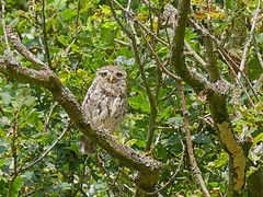Little owl (Charos Pix) Tags: athenenoctua littleowl