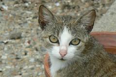 CHAT (gerard.delorme) Tags: chat cat regard oeil animal