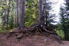 Birch tree clinging to it's roots. (Ranta Janne) Tags: 2019 birch finland forest fujifilmxt100 koivu kuusi lichen metsä moss mänty nature paju pine publicdomain puu spruce suomi tree trees willow wood woodland woodlands ylöjärvi