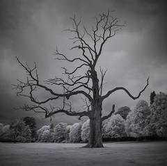 Deceased (Glenn D Reay) Tags: decay deadtree deceased infrared infrared720nm blackandwhite monochrome vignette olympusep1 olympus1442iir glennreay