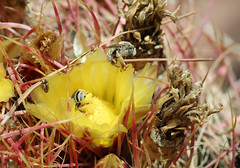 Chimney bees and cactus blooms (Monkeystyle3000) Tags: chimney bee solitary