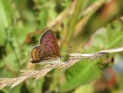 Purplish Copper (Lycaena helloides) (bencbright) Tags: purplishcopper lycaenahelloides butterfly latah idaho sx60 canonsx60 superzoom