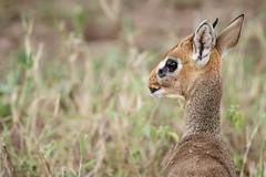 Tansania 07 (bernti_brot) Tags: tansania afrika safari ngorongoro caldera serengeti wildlife ngc dikdik