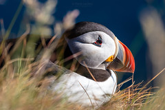 Puffins at the Látrabjarg bird-watching cliffs (PIERRE LECLERC PHOTO) Tags: puffins birds seabirds iceland birdwatching puffincolonies latrabjarg icelandphotos icelandicadventure westfjord