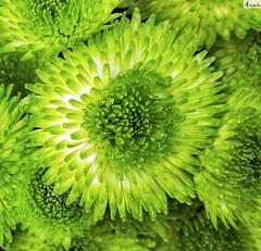 Verde que te quiero verde. (In Dulce Jubilo) Tags: macro naturaleza nature superb fotografía flor flores flowers verde colors colores nice beautiful green photography pétalos petails supermacro