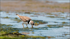(c)WMH_2019_08_02 Semipalmated Plover Feeding (WesleyHowie) Tags: birds canada location mccormacksbeachprovincialpark novascotia plover provincialpark semipalmatedplover wildlife