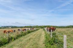 Segregation (Shastajak) Tags: heifers bullocks cattle fencefriday fence hastingscountrypark path