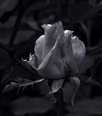 Rosebud. Monochrome. Macro and close-up. (ALEKSANDR RYBAK) Tags: изображения цветок бутон роза лепестки монохромный крупный план сад лето свет тень images flower bud rose petals monochrome closeup garden summer shine shadow
