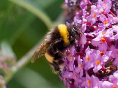 Bourdon terrestre (bombus terrestris) (pierre.pruvot2) Tags: panasonic lumixg9 leica arthropode insecte bourdon france pasdecalais guînes bumblebee