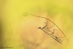 Il diablo (gael611) Tags: mante mantis macro makro proxy nature natur insecte insekt empuse