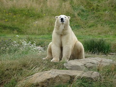 Posing Pixel (LadyRaptor) Tags: yorkshirewildlifepark yorkshire wildlife park doncaster ywp nature outdoors summertime summer time grass hill hills mound rock rocks shore flowers sit sitting pose posing looking watching chilling relax relaxing happy relaxed content cute animal animals predator carnivore caniformia ursidae polarbear polarbears male polar bear bears ursus maritimus projectpolar pixel