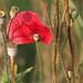 Klatschmohn (Papaver rhoeas),