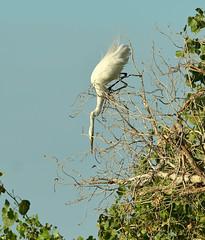 Hello Dragonfly! (rambokemp) Tags: wetlands wetland wildlife wilderness egrets egret dragonfly bluesky branch tres tresrio phoenixarizona phoenix canoneos1dxmarkii canonef600mmf4liiisusm