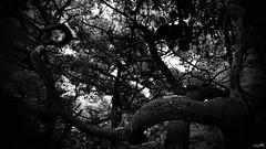 L'un contre l'autre (Un jour en France) Tags: strange arbre forêt monochrome noiretblanc noiretblancfrance canoneos6dmarkii canonef1635mmf28liiusm