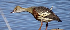 Plumed Whistling Duck (RJNumbat) Tags: plumed whistling duck