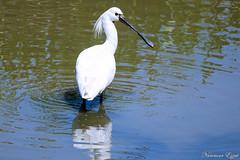 Spatule blanche (Ezzo33) Tags: france gironde nouvelleaquitaine bordeaux ezzo33 nammour ezzat sony rx10m3 parc jardin oiseau oiseaux bird birds spatuleblanche platalealeucorodia eurasianspoonbill