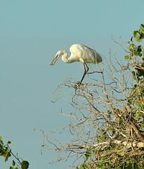 I got you now, thanks. (rambokemp) Tags: wetlands wetland wildlife wilderness egrets egret dragonfly bluesky branch tres tresrio phoenixarizona phoenix canoneos1dxmarkii canonef600mmf4liiisusm