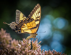 Happy Weekend! (Shannonsong) Tags: butterfly insect joepyeweed lepidoptera wings mariposa sunlight papillion summer nature papilioglaucus