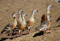 Plumed Whistling Ducks (RJNumbat) Tags: plumed whistling ducks
