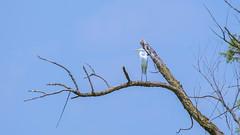 orland park grasslands. august 2019 (timp37) Tags: orland park grasslands august 2019 illinois great white egret bird