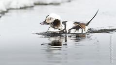 Long-tailed Duck, male (karenmelody) Tags: alaska anatidae animal animals anseriformes bird birds clangulahyemalis duck ducks longtailedduck usa vertebrate vertebrates nearbarrow utqiaġvik unitedstatesofamerica