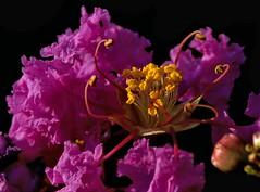 Crepe Myrtle Macro ---P8022883 -1K135M.94 (hyphy2008) Tags: konica 135mm f32 94achromat macro bokeh crepemyrtle flower garden tree