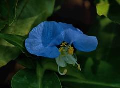 slender dayflower commelina erecta Macro ---1K135M.94 (hyphy2008) Tags: konica 135mm f32 94achromat macro bokeh slender day flower commelina erecta texas wildflower garden
