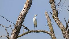 orland park grasslands. august 2019 (timp37) Tags: orland park grasslands august 2019 illinois bird great white egret