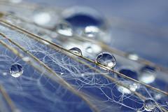 En équilibre (M. Carpentier) Tags: pissenlit abstract abstrait drops eau gouttes gouttesdeau pissenlits waterdrops macro bleu