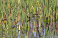 Mother Wood Duck and ducklings (Laura Erickson) Tags: portwing anatidae bayfieldcounty wisconsin birds woodduck species places anseriformes aixsponsa