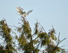 Feeding time. (Kreative Capture) Tags: egrets tree nest nestlings feeding wings white bird texas nikon nikkor