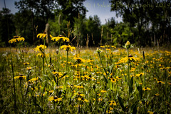 Hot Summer Days (SoS) (13skies) Tags: meadowsandfields field blackeyedsusans yellow distance trees meadow smileonsaturday dof topaz archive flowers summer theme green bokeh stems sky singleshothdr country roadside private wild canont3i sos countryside