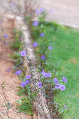 Purple petunia's in Accra (Pejasar) Tags: flowers petunias purple path accra ghana westafrica blooms blossoms