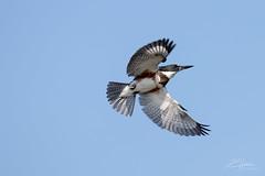 Kingfisher (LASCAR35) Tags: 100400isiil quebecoiseaux kingfisher martinpêcheur parccharbonneau quebecnature quebecsauvage 80d canon bird dlsr kayak audubonmagazine nationalgeographic